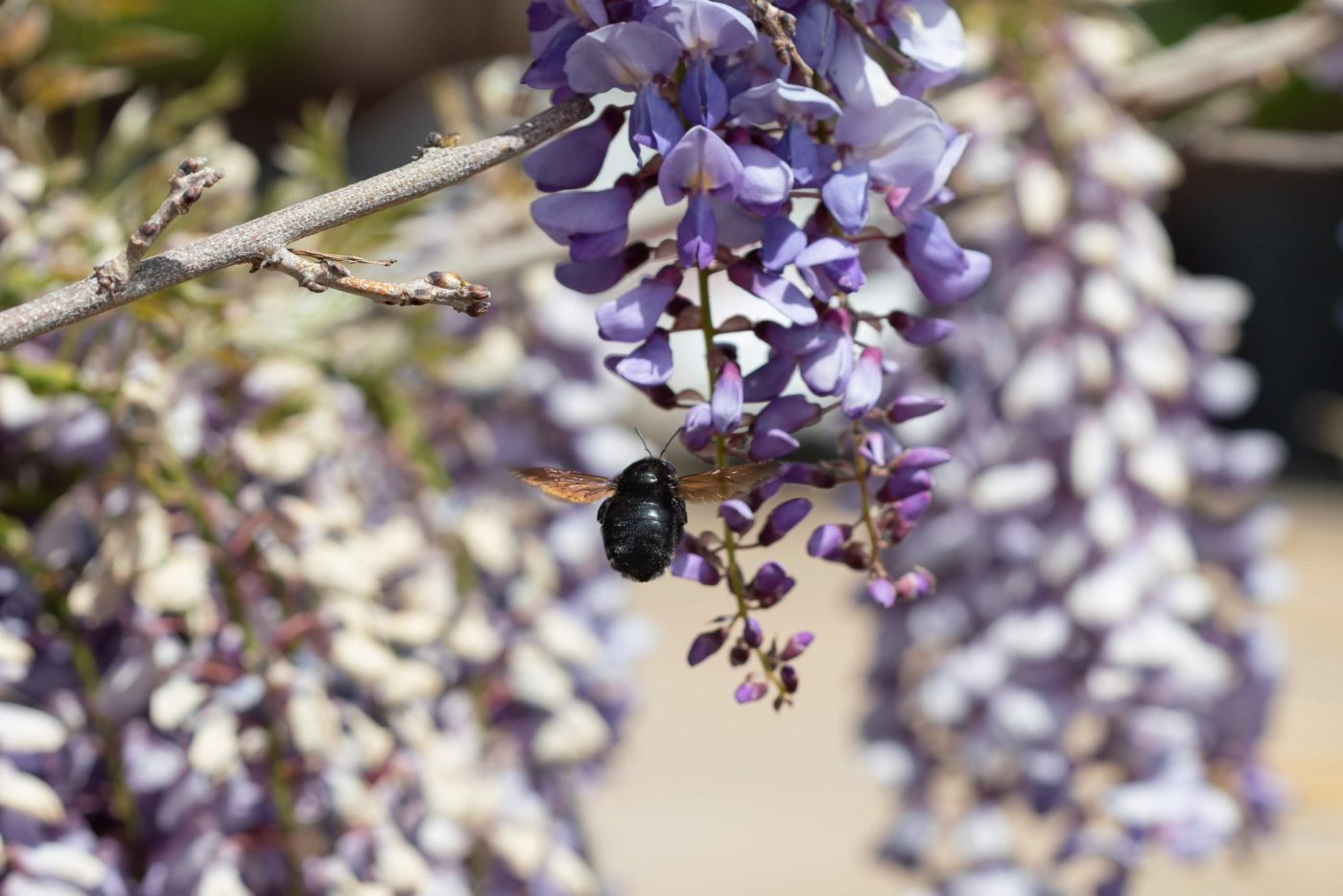 Hovering flying carpenter bee on wisteria