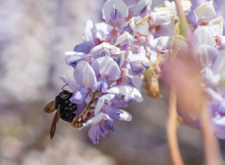 Carpenter bee on wisteria plant