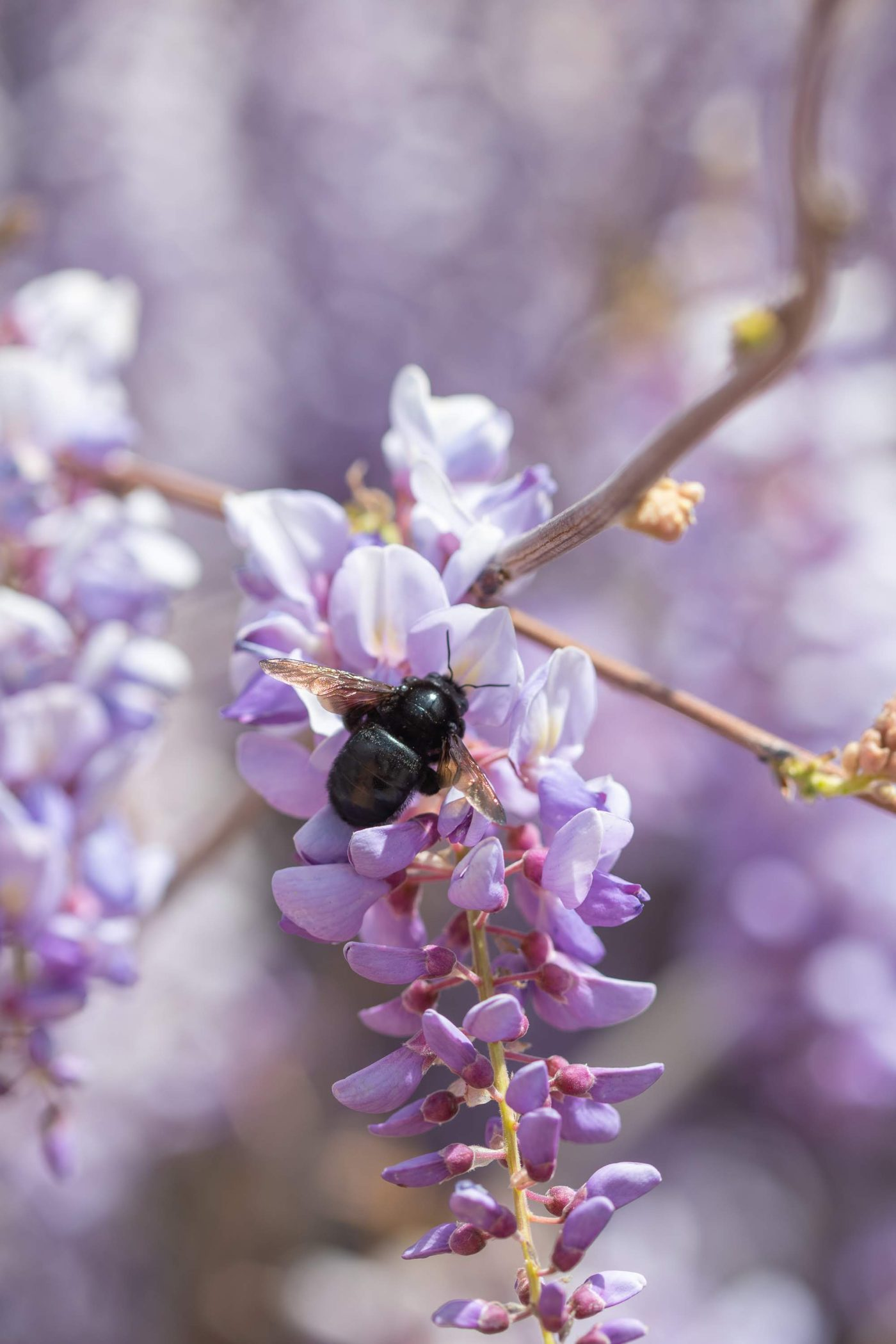 Carpenter bee on wisteria
