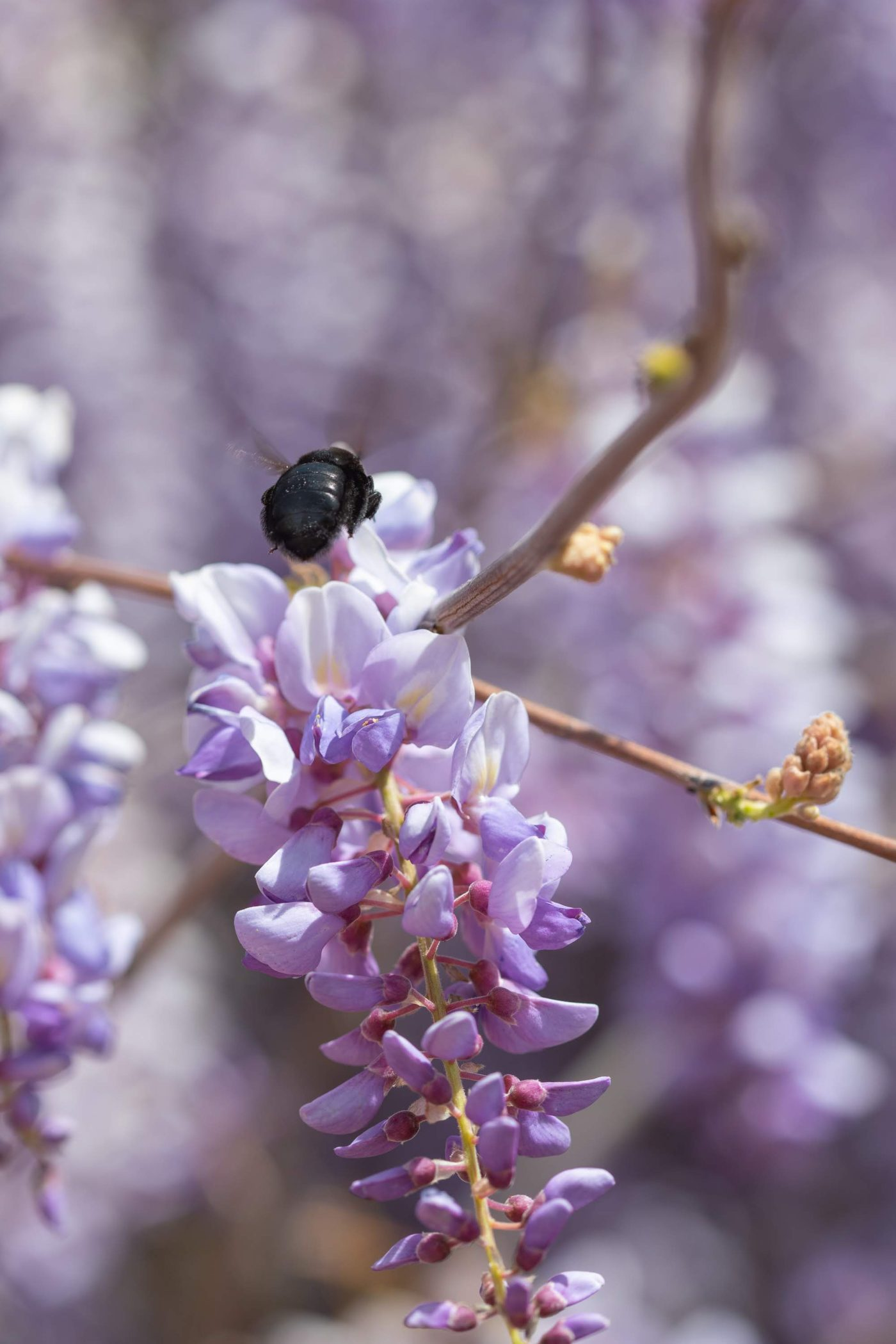 Hovering carpenter bee on wisteria